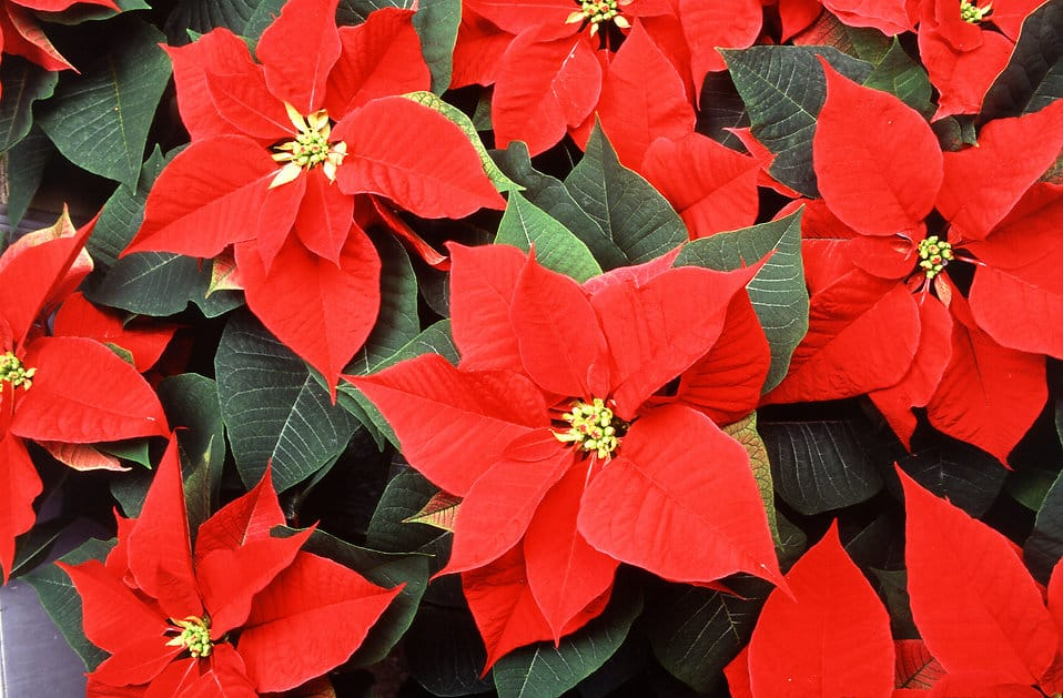 10859-red-poinsettia-flowers-pv