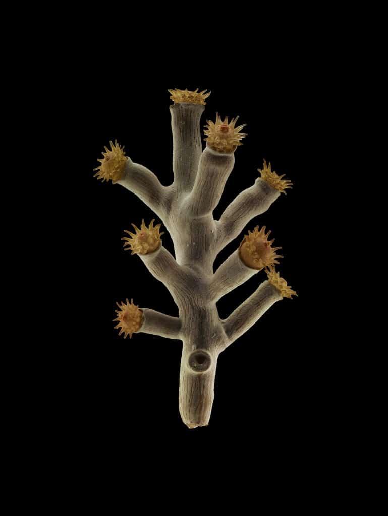 Harvell_8.1_Mediterranean coral