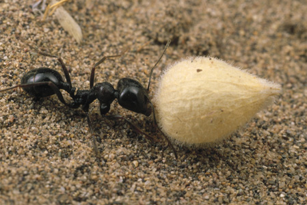 Harvester Ant (Mark Moffett/Minden Pictures)